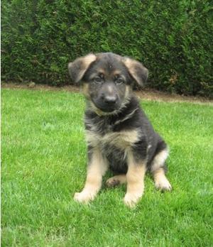 German Shepherd puppies FOR SALE ADOPTION