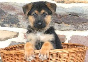 German Shepherd puppies who loves to run around and play FOR SALE ADOPTION