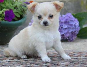 adorable Chihuahua puppies FOR SALE ADOPTION