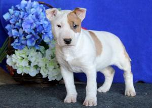 beautiful Bull Terrier puppy with a gentle nature FOR SALE ADOPTION