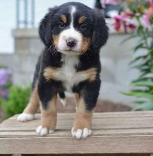 friendly Bernese Mountain Dog puppies FOR SALE ADOPTION