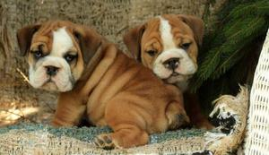 lovable English Bulldog puppies ready to make you smile FOR SALE ADOPTION