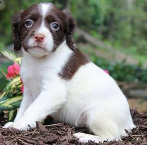 pretty Brittany Spaniel puppy ready for a forever home FOR SALE ADOPTION