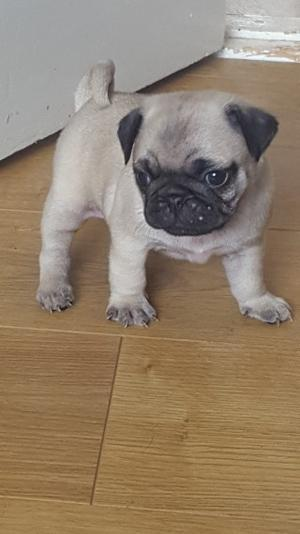 quality pug puppies FOR SALE ADOPTION