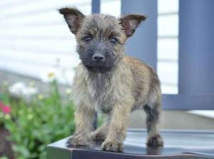 sweet Cairn Terrier puppies FOR SALE ADOPTION
