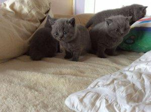Stunning Active Blue British Shorthair Kittens available now FOR SALE ADOPTION