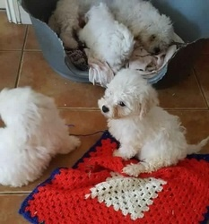 Active Adorable Fluffy Bichon Frise Puppies ready to go to their new loving home FOR SALE ADOPTION