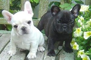 French Bulldog Puppies for Adoption FOR SALE ADOPTION