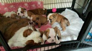 Loving Affectionate English Bulldog Puppies available for loving homes FOR SALE ADOPTION