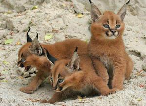 Marvelous Caracal Kittens Looking For New Homes FOR SALE ADOPTION