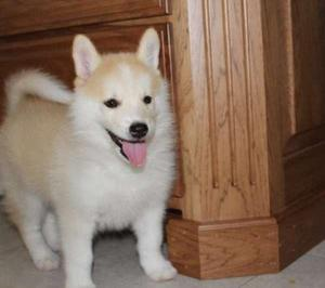 Pomsky puppies FOR SALE ADOPTION