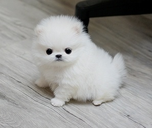 Registered Pomeranian Puppies For Sale FOR SALE ADOPTION