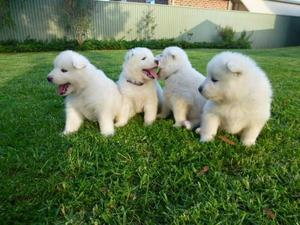 Awesome Samoyed Puppies Available FOR SALE ADOPTION