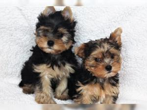 Cute Yorkie puppies for sale FOR SALE ADOPTION