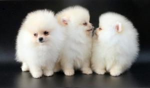 Cute male and female Pomeranian puppies FOR SALE ADOPTION