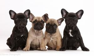 Excellent French Bulldog FOR SALE ADOPTION