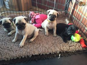 Excellent Pug Puppies For Sale FOR SALE ADOPTION