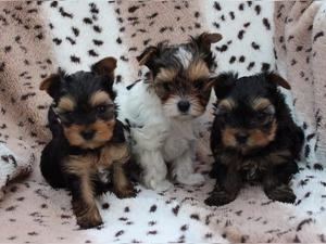 Registered male and female Yorkshire Puppies For Re Homing FOR SALE ADOPTION