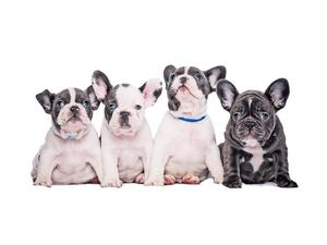 Stunning French Bulldog Puppies FOR SALE ADOPTION