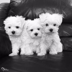 Super Adorable Maltese Puppies for sale FOR SALE ADOPTION