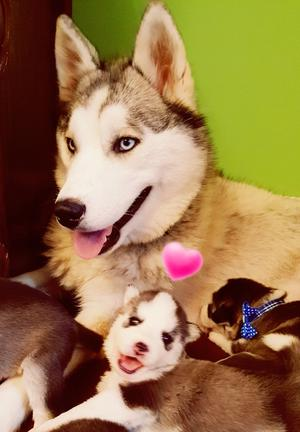 Beautiful Purebred Blue Eyes Husky Pups FOR SALE ADOPTION