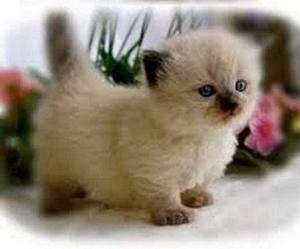 Golden Short legs Munchkin Kittens FOR SALE ADOPTION