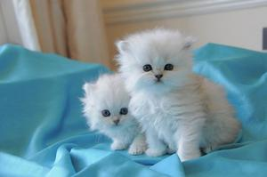Awesome Cute Chinchilla Kittens FOR SALE ADOPTION