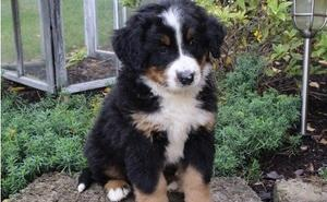 Beautifu l bernese mountain puppies for sale FOR SALE ADOPTION