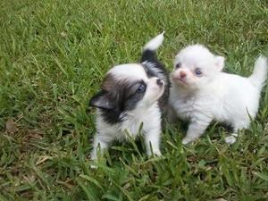 Chihuahua Boys And Girls FOR SALE ADOPTION