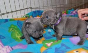 Cute french bulldog puppies looking for pet loving homes FOR SALE ADOPTION