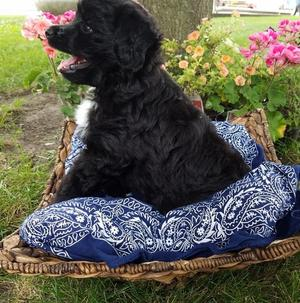 Adorable Aussiedoodle Puppies FOR SALE ADOPTION