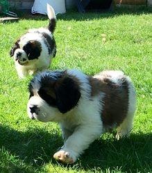 Beautiful St Bernard Puppies FOR SALE ADOPTION