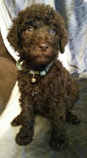 Cute Female Standard Poodle Puppy FOR SALE ADOPTION