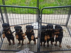 Rottweiller Puppies Cruffs Bloodline Ready To Go FOR SALE ADOPTION
