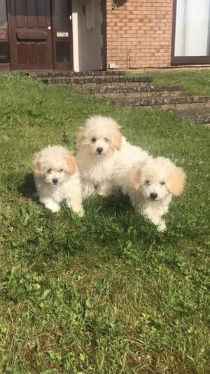 Apricot Poochons FOR SALE ADOPTION