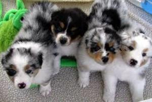 Australian Shepherd dog FOR SALE ADOPTION