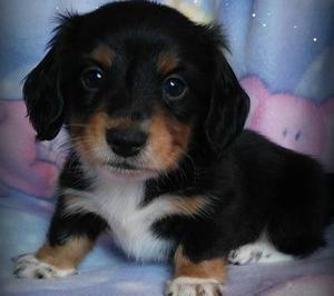 Dacshund puppies FOR SALE ADOPTION