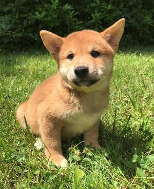 Male and female Shiba inu puppies FOR SALE ADOPTION