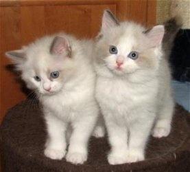 Stunning Gccf Registered Ragdoll Kittens FOR SALE ADOPTION
