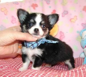 beautiful chihuahua puppies FOR SALE ADOPTION