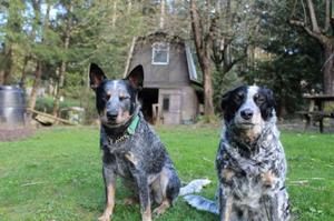 1 4 Border Collie 3 4 Blue Heeler puppies FOR SALE ADOPTION