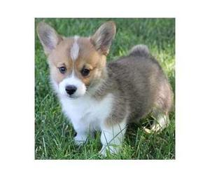 Awesome Pembroke Welsh Corgi Puppies Ready  FOR SALE ADOPTION