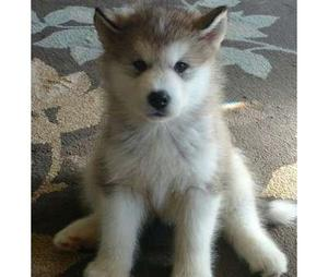 Cute Alaskan malamute puppies Ready FOR SALE ADOPTION