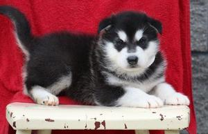 Alaskan Malamute puppies FOR SALE ADOPTION