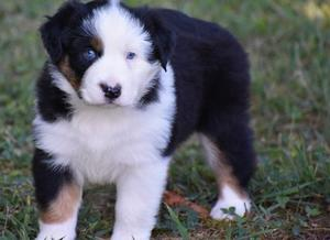 Australian Shepherd pupppies FOR SALE ADOPTION