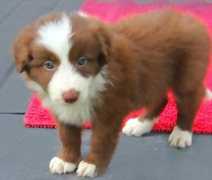 Border Collie with different colors FOR SALE ADOPTION