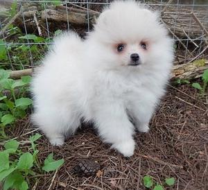 Cute and Adorable12 weeks Pom Puppies for Adoption FOR SALE ADOPTION