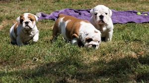 English Bulldog puppies FOR SALE ADOPTION