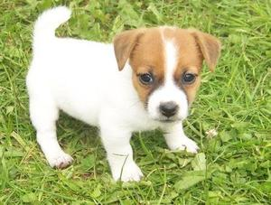 Jack Russell puppies FOR SALE ADOPTION