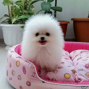 Pomeranian puppies FOR SALE ADOPTION